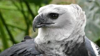 The great brazilian eagle