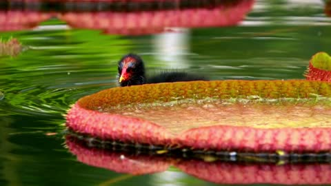 Exotic bird swimming among lotus flowers in a lake - With beautiful music