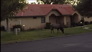 Elk in Stallion Springs California