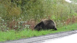 Epic grizzly bear fight!