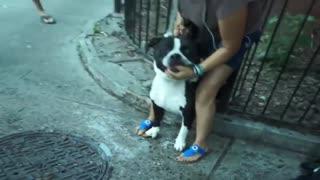 Pitbull attacks Cute Dog