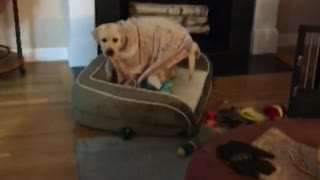 Unique doggy brings his puppy blanket with him everywhere