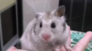 Cute hamster too tired
