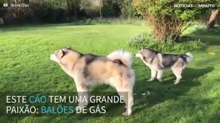 Cão vê balão de gás pela primeira vez e se emociona
