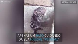 Inacreditável! Este rato toma banho como se fosse humano