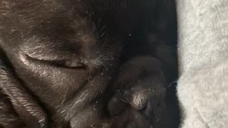 Cute sleeping puppy with tongue out