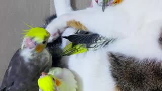 Baby Budgies Sleeping With Kitty Best Friend