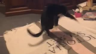 Crazy cat hilariously tries to catch her tail