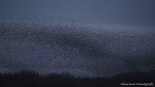 Stunning footage captures starling murmuration in Ireland