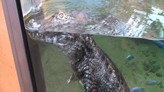 I am a beautiful crocodile.