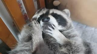 Pet raccoon thoroughly grooms himself before bedtime