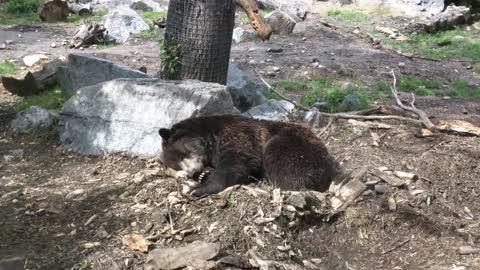 Female Bear Wants Some Sleep