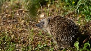 Little Hedgehog Were Found In Lost forest