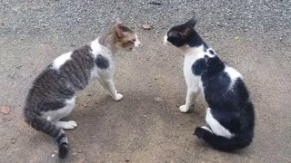 Cats Fighting With Sound - Exclusive Video