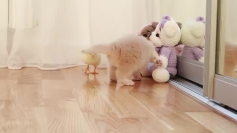 cute Kitten walks with a tiny chicken 🍗🍗🍗