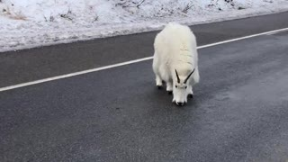 Mountain Goat Road Block