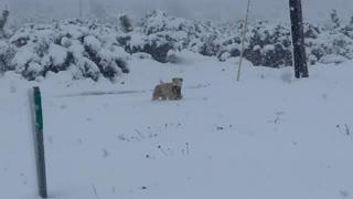 Dog Carries Puppy Through Deep Snow
