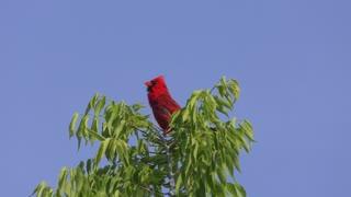 Male Northern Cardinal Bird singing