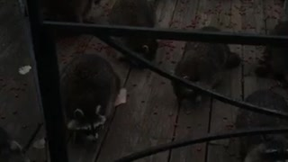 Dinner Time for Huge Group of Raccoons