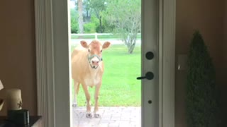 Friendly cow comes to door to say hello