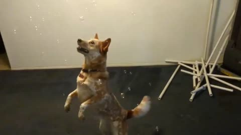 dog loves to play with bubbles - dogs vs. bubble gun   dog plays with bubbles for the first time