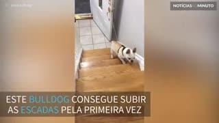 Bulldog comemora ao subir as escadas pela primeira vez