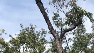 Goanna Goes for Bird's Nest