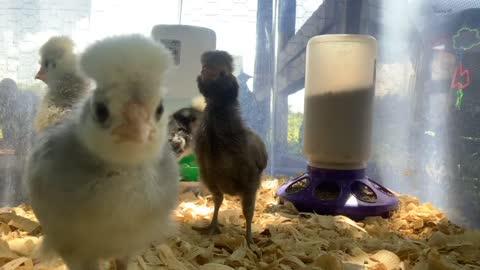 Polish Chicken Babies