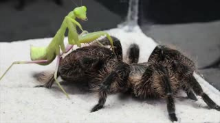 WHAT WILL BE IF THE MANTIS SEES THE BIG SPIDER