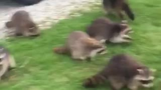 Feeding a Horde of Hungry Raccoons
