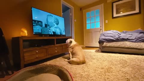 Bulldog looks away during scary movie scene, loses it when the murderer shows up