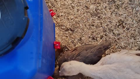 Automatic waterer for out Chickens and Turkeys!