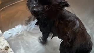 Pomeranian puppy Gigi 5