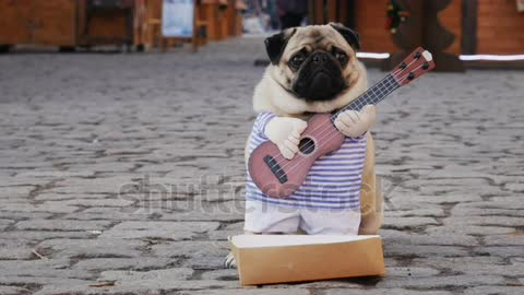 Cute funny pug dog earning with playing music