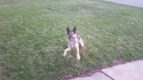 German Shepherd playing ball for a little while anyways