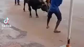 Man wrestles bull and hangs on