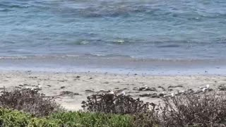 Elephant Seal MMA fight in the Central California Pacific Ocean