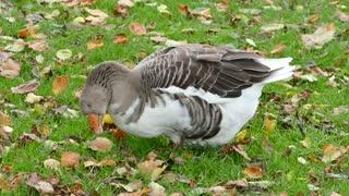 Goose Feeding