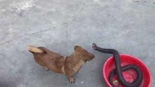 NERVOUS COBRA WITH THE DOG