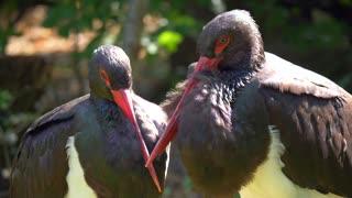 Beautiful black stork