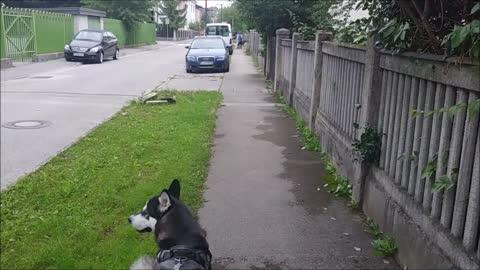 Alaskan Husky visits Soul Mate Siberian Husky