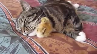 So cute cat freind with little chicken 🐹🐣