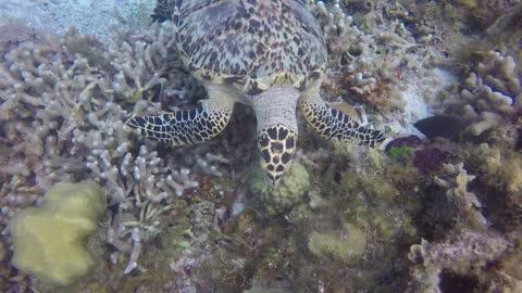 Turtle vs Damselfish