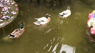 Duck family leisurely swimming in the lake