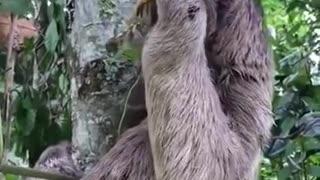 Man helps sloth cross the street