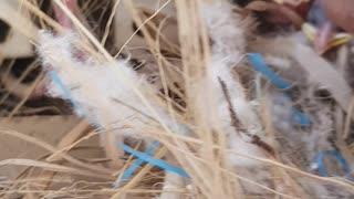 Sparrow chicks