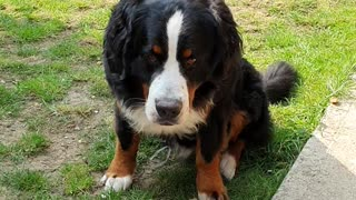 Naughty Bernese Mountain Dog plays with cushion outside