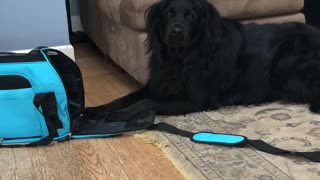 Big dog tries to fit in tiny bag, throws temper tantrum