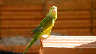 Brazilian green parrot