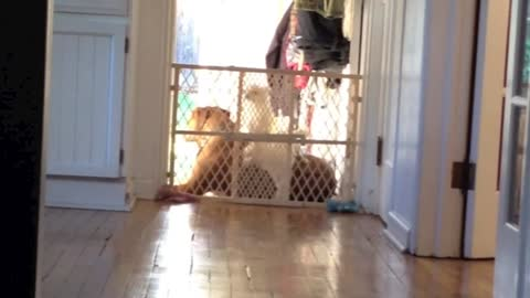 Tiny Dog Uses Large Dog As Step Ladder To Aid Escape